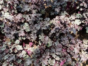 Heuchera Amethyst Myst 1 Gallon.