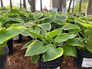 Hosta Aureomarginata 1 Gallon.