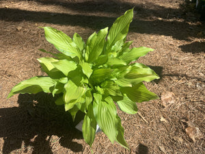 Hosta 'Sun Power' 1 gallon.