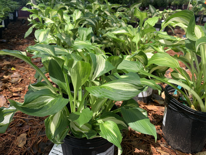 Hosta 'Variegata' 1 gallon