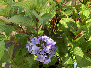 HYDRANGEA BLOOMSTRUCK SUMMR 3G - Cross Creek Nursery & Landscaping