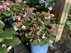 Hydrangea Endless Summer Twist and Shout 3G.
