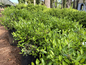 ILEX DWARF YAUPON 3G - Cross Creek Nursery & Landscaping