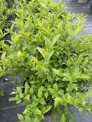 ITEA HENRYS GARNET 3G - Cross Creek Nursery & Landscaping