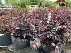 LOROPETALUM RUBY 3G - Cross Creek Nursery & Landscaping