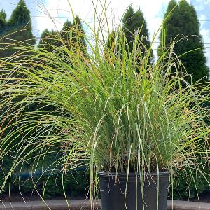 MISCANTHUS ADAGIO 3G - Cross Creek Nursery & Landscaping