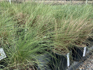 MUHLENBERGIA GULF COAST 3G - Cross Creek Nursery & Landscaping