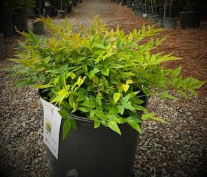 NANDINA DOMESTICA GULFSTREAM 3 - Cross Creek Nursery & Landscaping