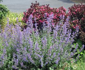 Nepeta 'Walkers Low' 1G