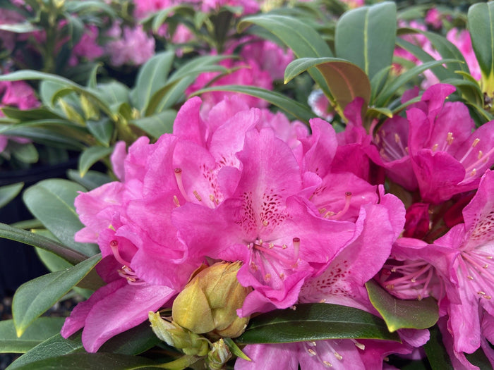 Rhododendron Holden 3G