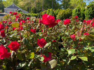 ROSE KNOCKOUT DOUBLE RED 3G - Cross Creek Nursery & Landscaping