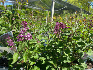 Syringa Bloomerang Dark Purple 3G.