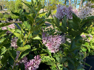 SYRINGA MISS KIM 3G - Cross Creek Nursery & Landscaping