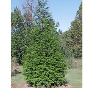 THUJA GREEN GIANT 03G - Cross Creek Nursery & Landscaping