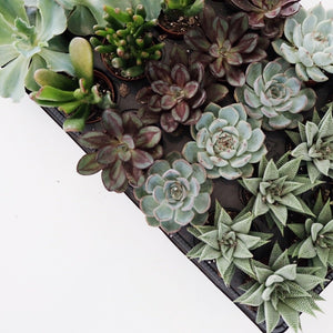 bb Succulents