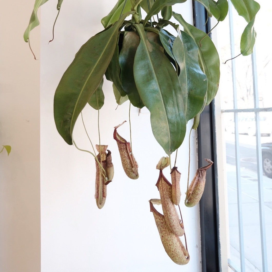 Hanging Pitcher Plant