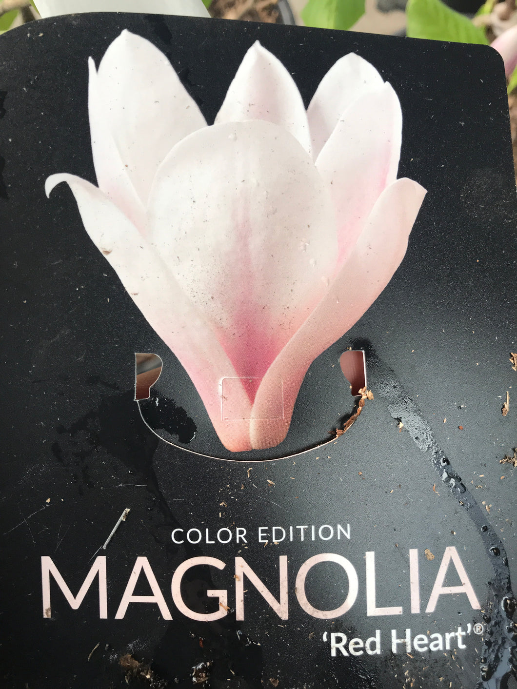Magnolia red heart