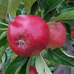 Apples, Tydemans early Worcester– 500g