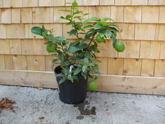 Citrus tree - Dwarf