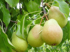 Pears and Asian Pears