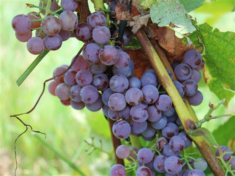 Pink Pearl Seedless Grape