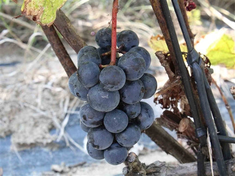 Montreal Blue Seedless Grape