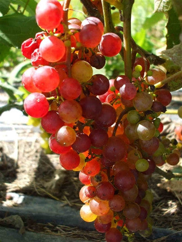 REDLIANCE- Seedless Grape