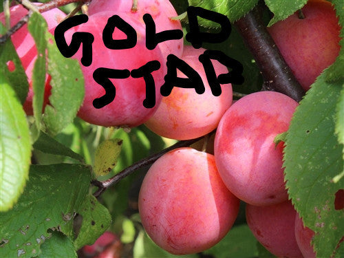 A PLUMCOT - GOLD STAR