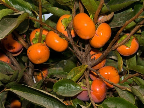 ASIAN PERSIMMON or KAKI