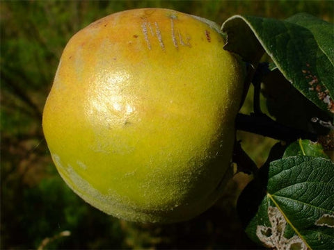 QUINCE - Crimea or Kaunching