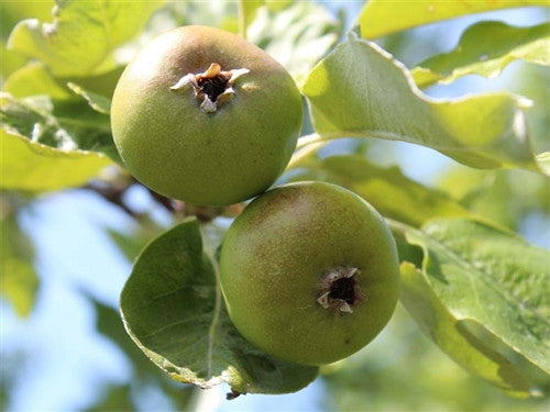 SHIPOVA -SEEDLESS PEAR