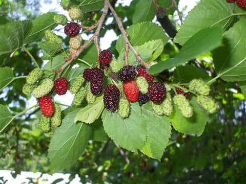A MONTREAL MULBERRY.....VERY HARDY