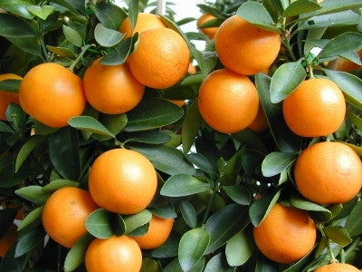 Kumquat - Tree