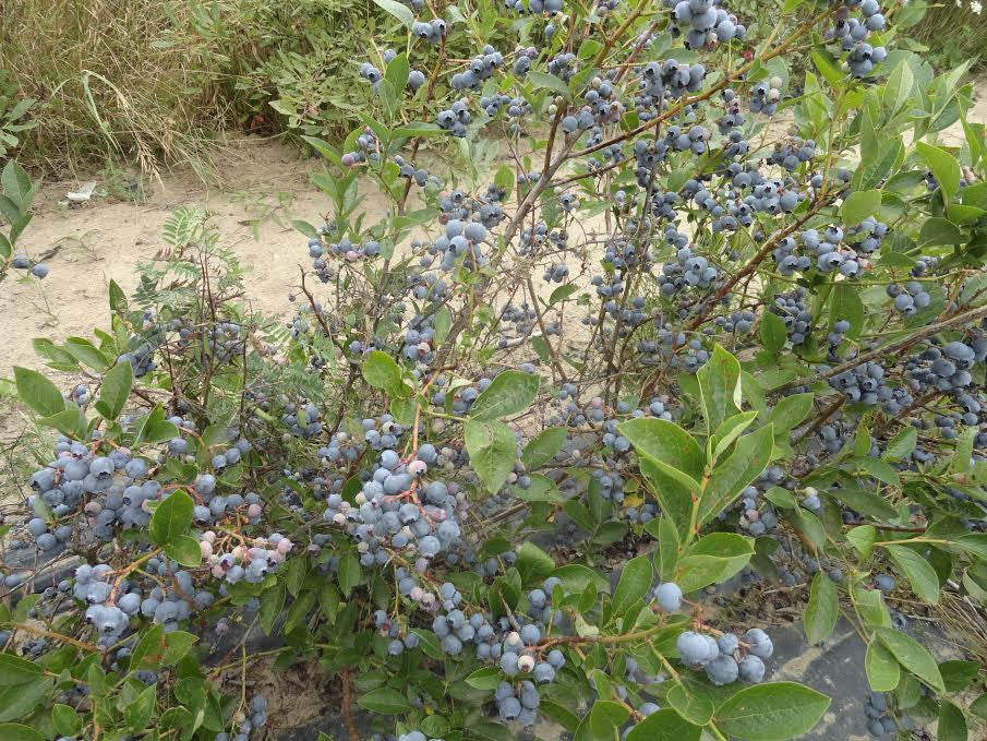 Blueberry Hardy Collection X 4