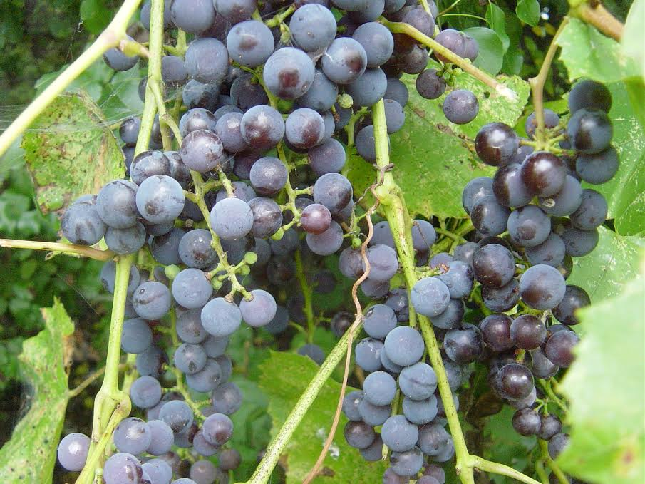 WILD CANADIAN GRAPE
