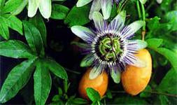 A  New Vine - PASSION FRUIT