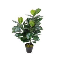 RUBBER PLANT WITH BLACK PLASTIC POT - 85CM