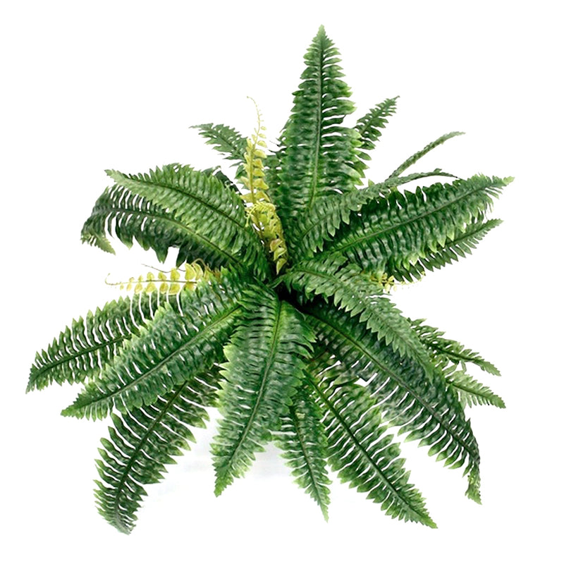 Large Boston Fern