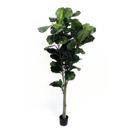 Potted Fiddle Tree Single Trunk
