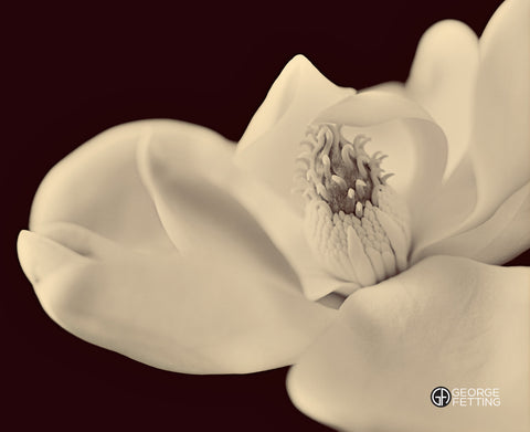 Magnolia bloom with sepia wash