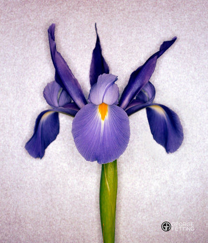 Contemporary photograph of blue iris flower