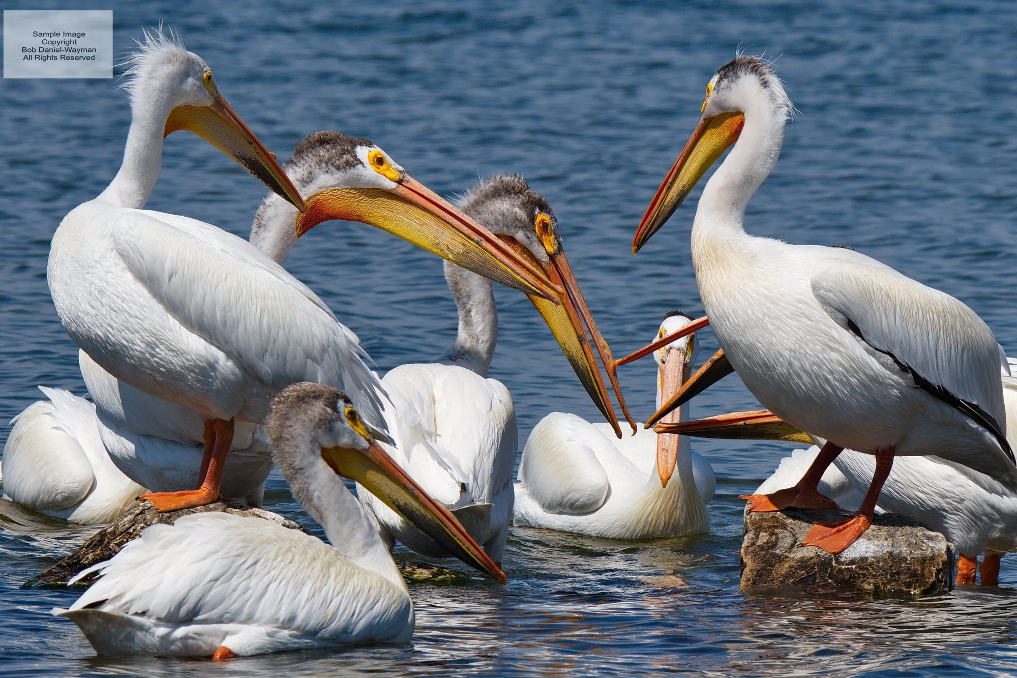 American Pelicans In Conversation
