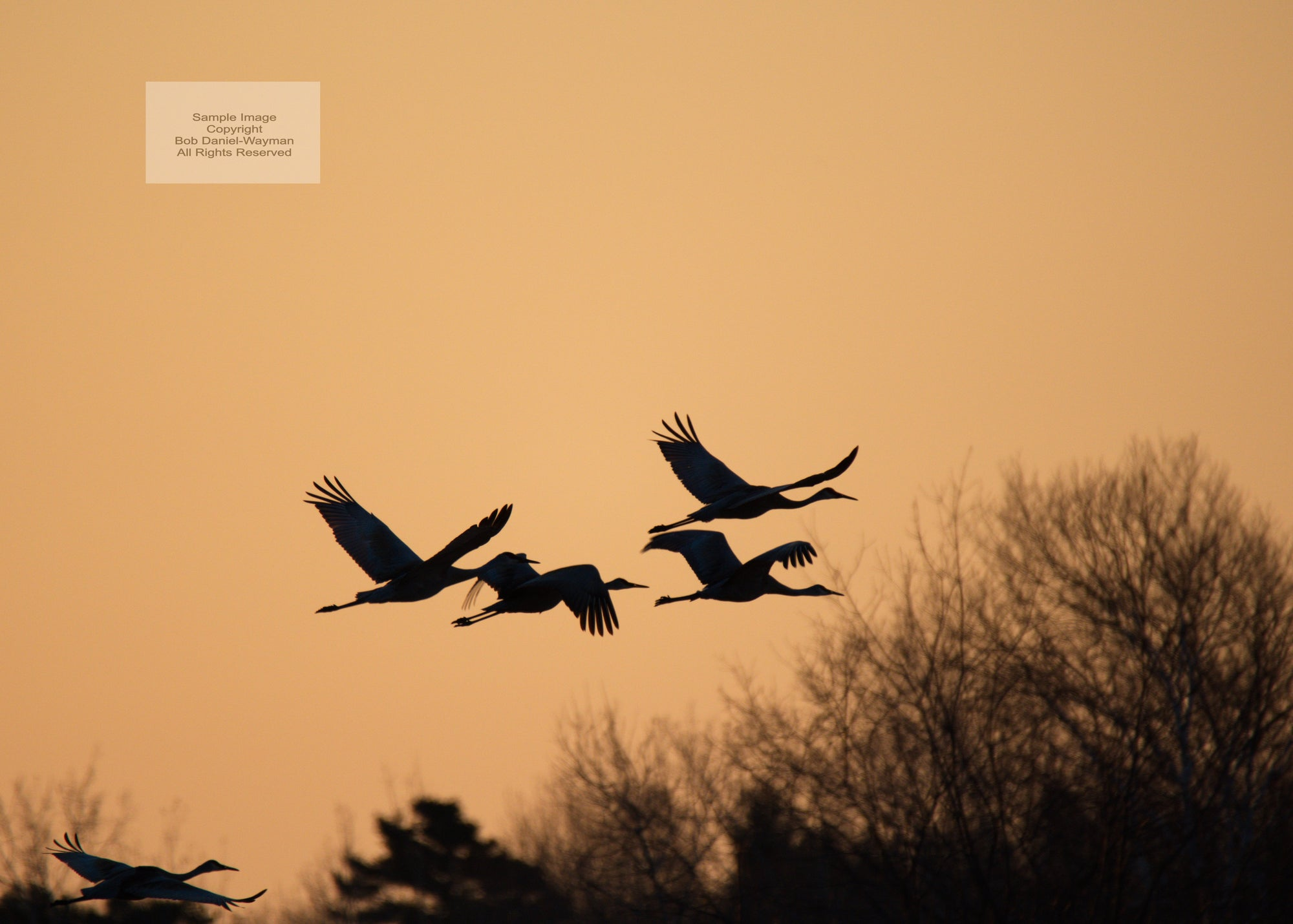 Sunrise Sandhill Cranes In Flight