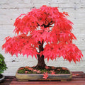 Japanese Maple Tree Premium Bonsai Seeds