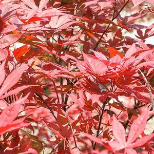 Japanese Maple Bloodgood