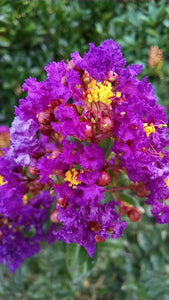 Crape Myrtle Purple Magic