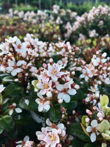 Indian Hawthorn Snow Cap