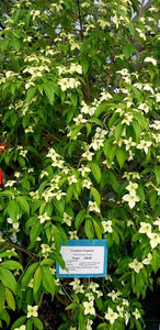 Dogwood Empress of China