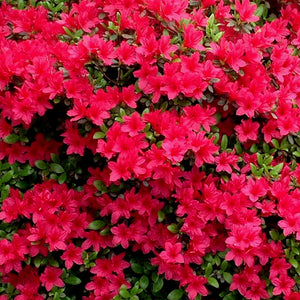 Azalea Christmas Cheer