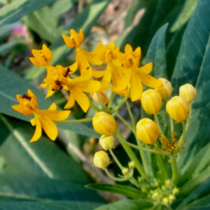 Butterfly Weed Silky Golden